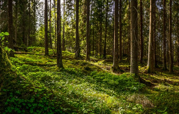 Картинка лес, forest, Чудный лес, Wonderful forest