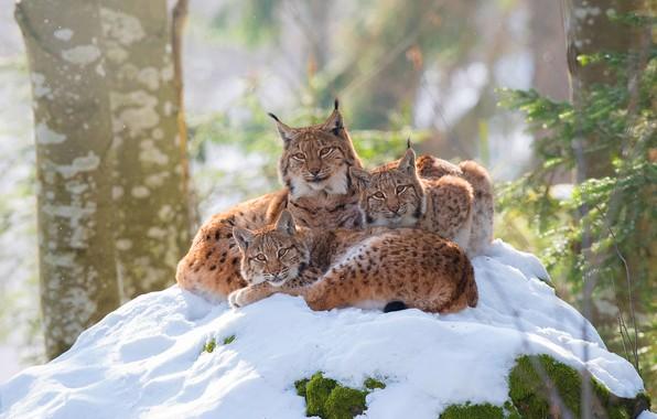 Картинка зима, лес, взгляд, снег, ветки, природа, поза, уют, фон, стволы, котята, три, рысь, трио, рыси, …