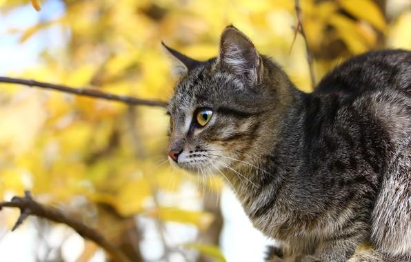 Картинка осень, кошка, взгляд, ветки, фон