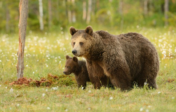 Картинка зелень, лес, лето, трава, взгляд, морда, природа, поза, поляна, медведь, медведи, пара, медвежонок, парочка, детеныш, …
