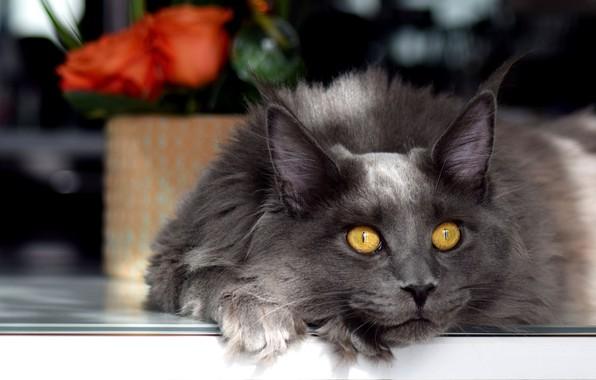 Картинка кошка, кот, взгляд, морда, свет, цветы, поза, стол, серый, фон, темный, портрет, розы, букет, лапы, …