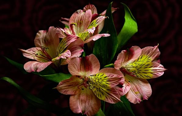 Картинка цветы, тёмный фон, альстрёмерия