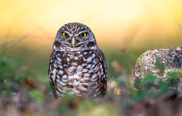 Картинка трава, природа, сова, птица, перья, боке, Burrowing Owl