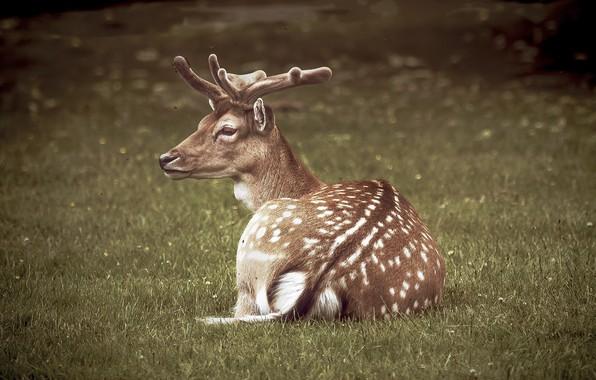 Картинка олень, рожки, animal