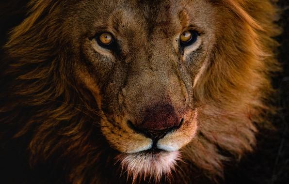 Картинка глаза, взгляд, морда, крупный план, фон, темный, портрет, лев, грива, дикая кошка, молодой, красавец, после …