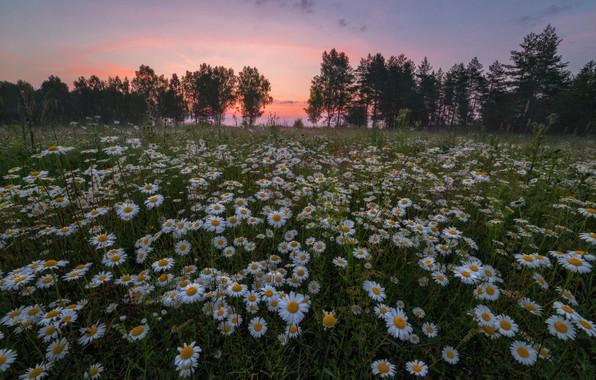 Картинка поле, лето, небо, деревья, закат, цветы, поляна, ромашки, вечер, луг, ромашковое поле