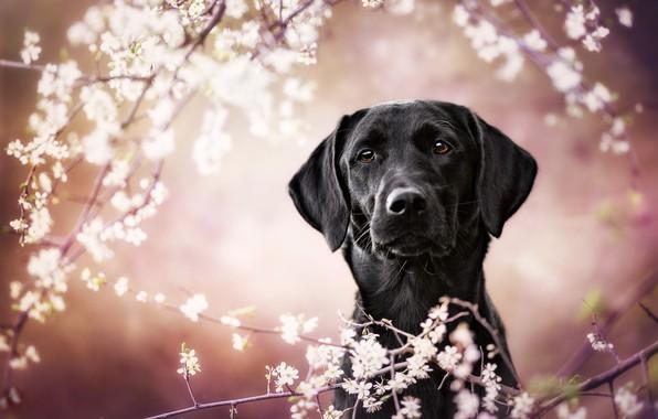Картинка взгляд, морда, цветы, ветки, фон, розовый, портрет, собака, размытие, весна, сад, черная, белые, цветение, боке