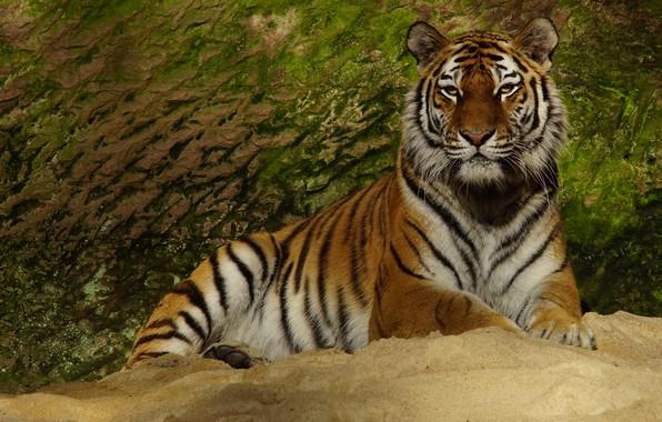 Картинка взгляд, морда, тигр, поза, камень, лапы, лежит, дикая кошка, зеленый фон