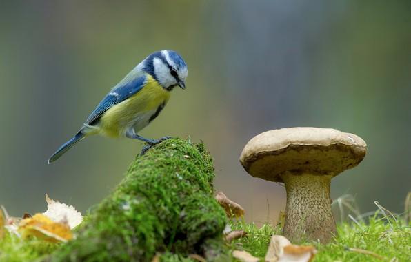 Картинка природа, фон, птица, гриб, мох, синица, лазоревка, Андрей Киселёв