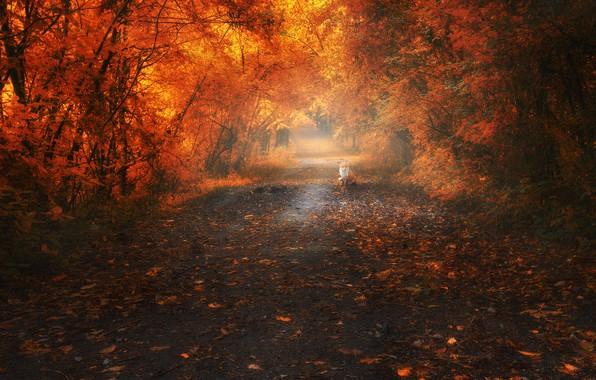 Картинка дорога, осень, лес, листья, деревья, пейзаж, ветки, туман, парк, настроение, заросли, ветви, листва, лиса, дорожка, …