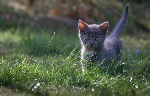 Картинка кошка, трава, котенок, серый, поляна, малыш, котёнок