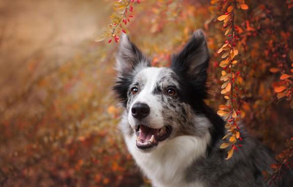 Картинка осень, взгляд, морда, листья, ветки, природа, ягоды, фон, листва, портрет, собака, плоды, бордер-колли, пятнистая, барбарис, …