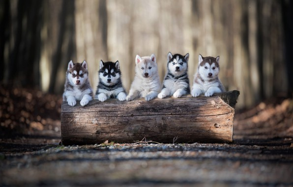 Картинка дорога, осень, лес, собаки, взгляд, свет, деревья, поза, парк, фон, дерево, лапы, щенки, щенок, бревно, …