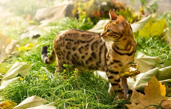 Картинка в траве, листья клёна, бенгальский кот
