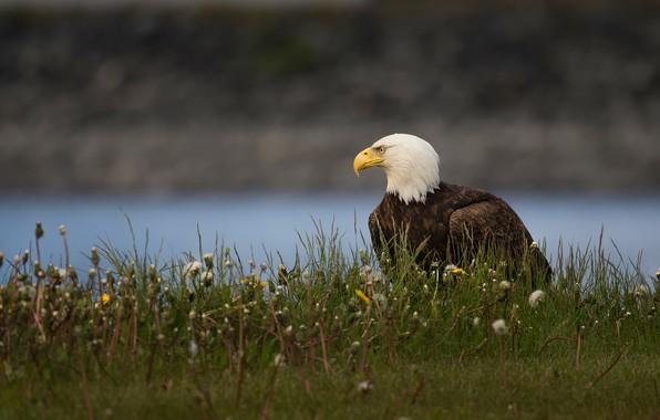 Картинка трава, взгляд, цветы, природа, поза, река, фон, птица, орел, берег, профиль, одуванчики, сидит, водоем, белоголовый …