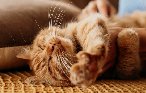 Картинка кошка, кот, релакс, лапки, рыжий, мордочка, котейка