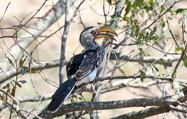 Картинка листья, солнце, деревья, ветки, природа, птица, перья, клюв, боке, птица-носорог, Southern Yellow-billed Hornbill, Tockus leucomelas