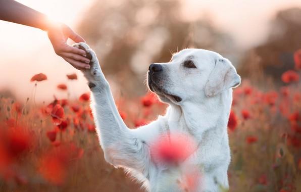 Картинка поле, взгляд, морда, свет, цветы, природа, поза, друг, лапа, маки, рука, портрет, собака, дружба, красные, …