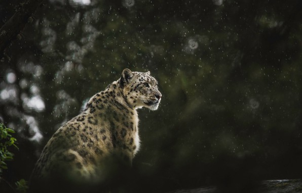 Картинка wallpaper, snow leopard, rain, leopard, animals, background, predator, blur, bokeh, cats, wildlife, big cat