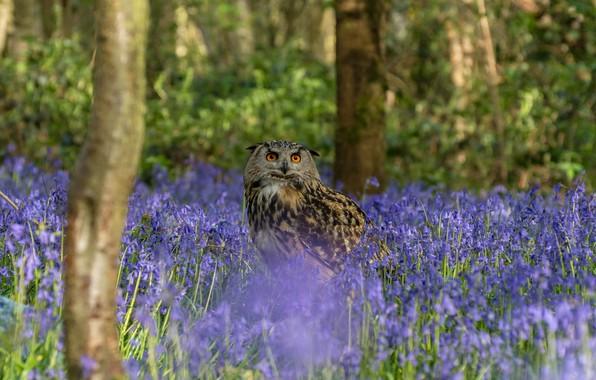 Картинка лес, взгляд, деревья, цветы, природа, сова, птица, стволы, поляна, весна, голубые, колокольчики, сиреневые, филин