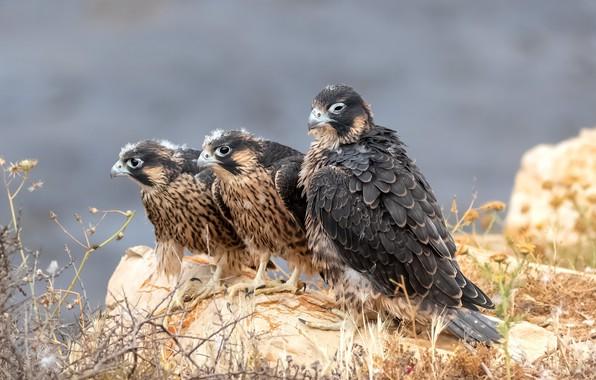 Картинка птицы, Сапсан, Peregrine falcon