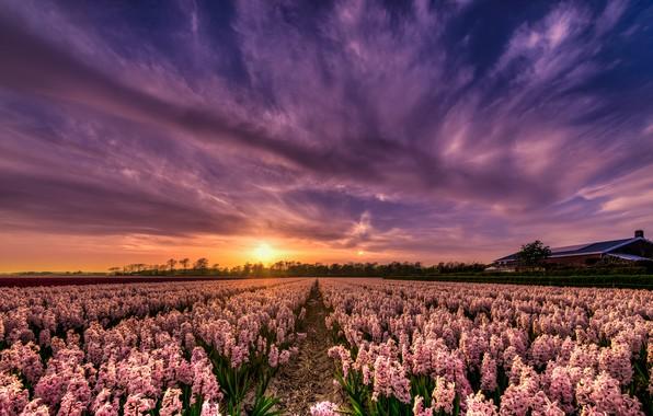 Картинка поле, небо, солнце, облака, свет, закат, цветы, дом, красота, вечер, розовые, грядки, Нидерланды, много, ряды, …