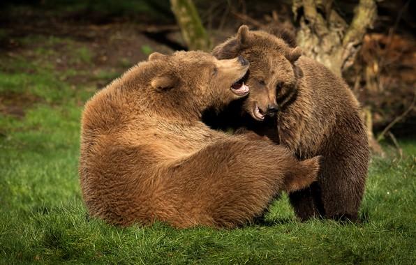 Картинка трава, природа, поза, игра, борьба, медведь, медведи, пара, два, молодые, бурые, два медведя