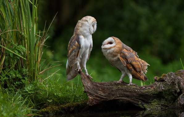 Картинка трава, взгляд, птицы, природа, фон, сова, птица, две, пара, коряга, совы, парочка, дуэт, водоем, сипуха, …