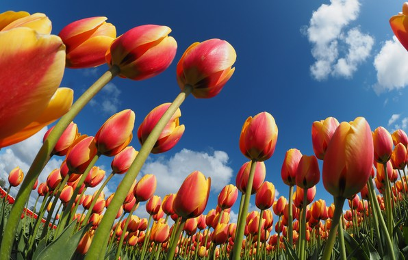 Картинка небо, тюльпаны, оранжевые