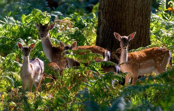 Картинка лес, свет, дерево, заросли, семья, олени, олененок, папоротник, оленёнок, оленята, олениха