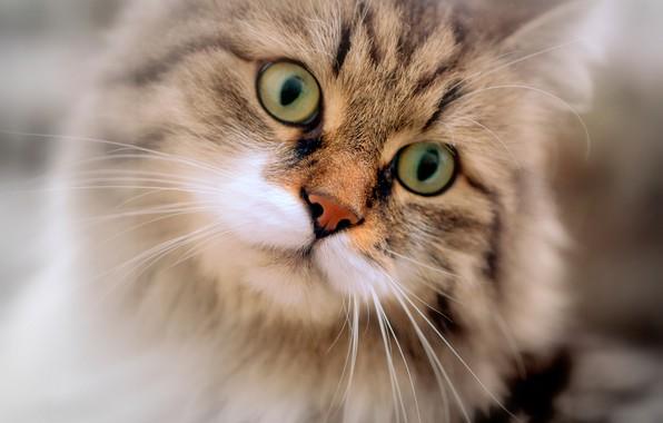 Картинка кошка, глаза, кот, взгляд, портрет, мордочка, котейка