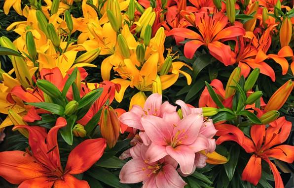 Фото обои лилии, лепестки, разноцветный