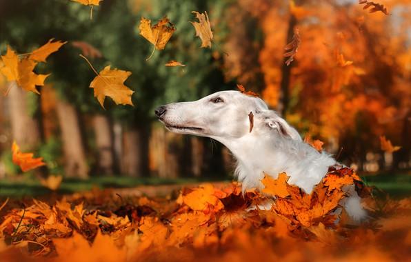 Картинка осень, листья, природа, парк, животное, собака, голова, листопад, пёс, борзая
