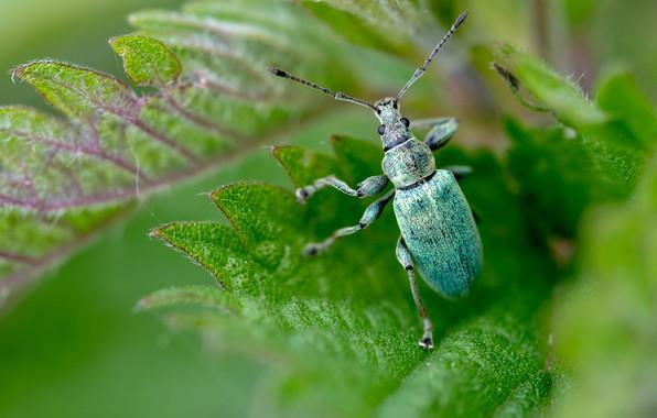 Картинка зелень, усы, листья, макро, зеленый, фон, жук, размытие, насекомое, жучок