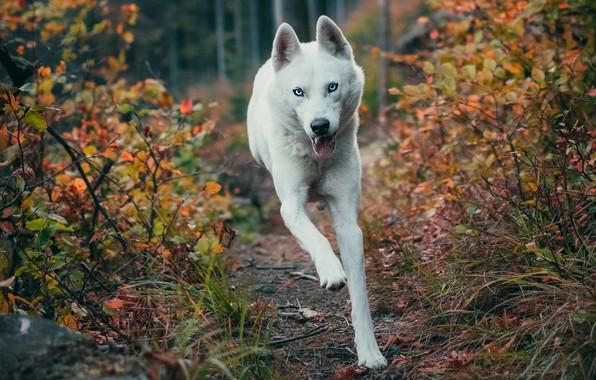 Картинка осень, лес, язык, взгляд, морда, ветки, природа, поза, прыжок, листва, собака, лапы, бег, белая, голубые …