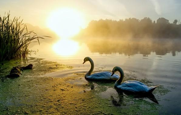Картинка лес, солнце, свет, птицы, туман, озеро, пруд, отражение, рассвет, берег, утро, пара, лебеди, водоем, ряска