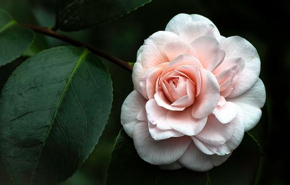 Картинка листья, макро, розовая, лепестки, камелия
