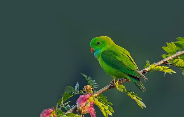 Картинка фон, птица, ветка, попугай, Весенний висячий попугайчик