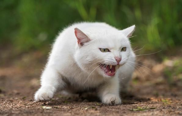 Картинка кошка, белый, трава, кот, взгляд, морда, природа, поза, зеленый, фон, портрет, лапы, пасть, клыки, оскал, …
