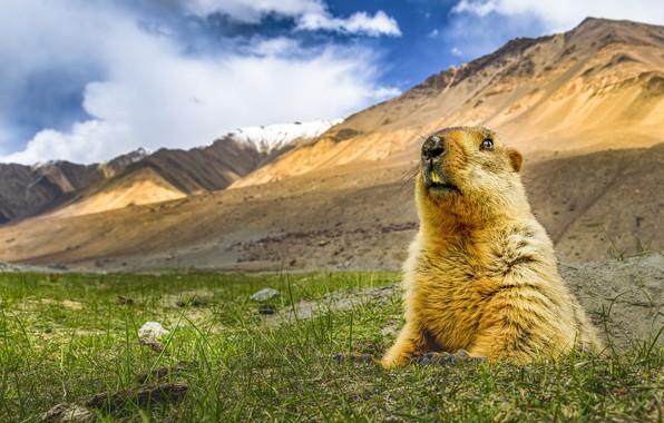 Картинка природа, Гималайский сурок, Marmota himalayana