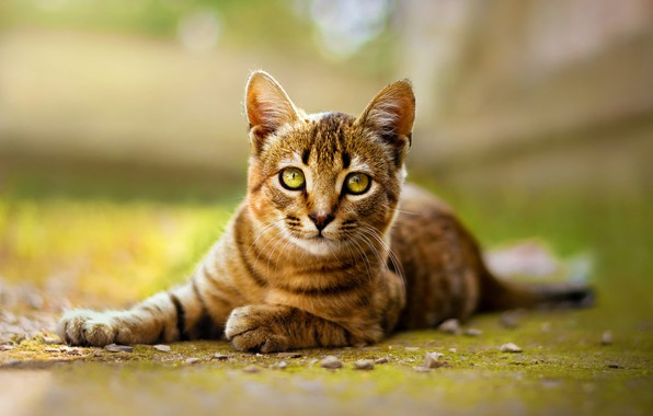 Картинка кошка, взгляд, природа, поза, зеленый, котенок, фон, лежит, котёнок, мордашка, полосатый, зеленоглазый, боке, размытый