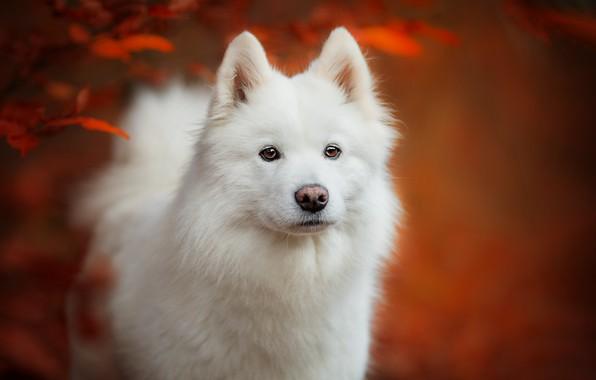 Картинка осень, взгляд, морда, листья, фон, портрет, собака, щенок, белая, самоед