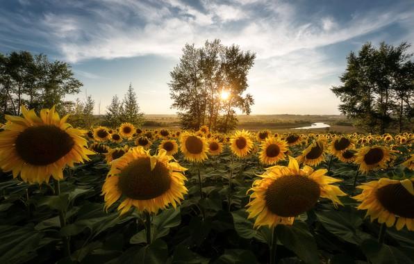 Картинка поле, солнце, лучи, подсолнухи, пейзаж, цветы, природа, дерево, Россия, поле подсолнухов