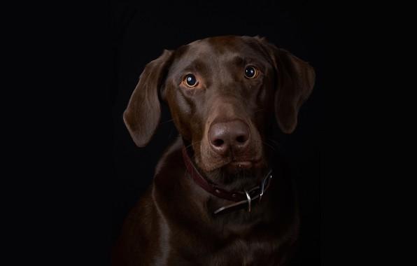 Картинка портрет, собака, чёрный фон