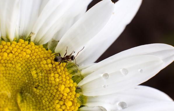 Картинка белый, цветок, лето, капли, макро, дождь, ромашка, муравей, насекомое, насеакомые