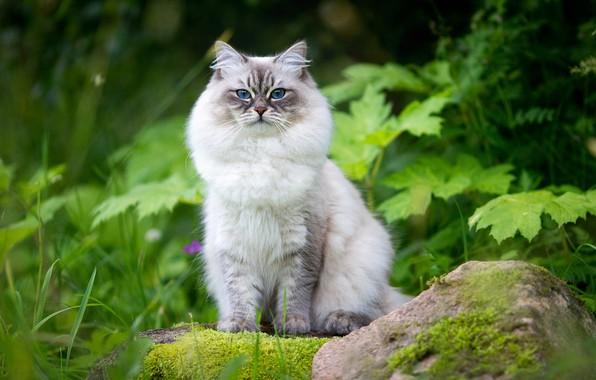 Картинка зелень, кошка, трава, взгляд, листья, камень, красавица, пушистая, котейка, Невская маскарадная кошка, Наталья Ляйс