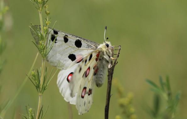 Картинка фон, бабочка, крылья