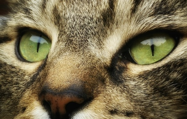 Картинка wallpaper, green eyes, animals, eyes, cat, face, cats, look, muzzle, striped, 4k ultra hd background