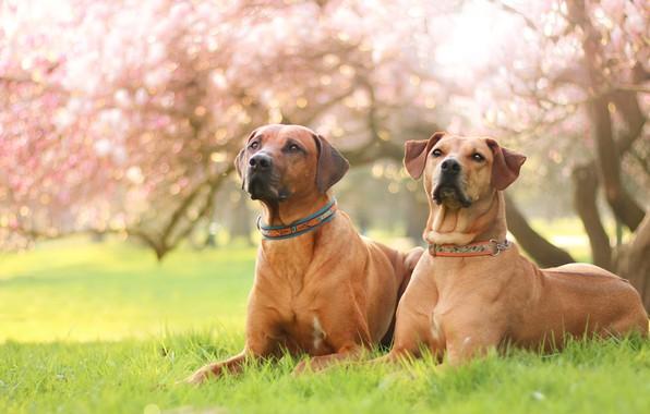 Картинка собаки, трава, взгляд, свет, цветы, природа, поза, парк, фон, настроение, газон, портрет, весна, сад, пара, …