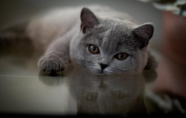 Картинка взгляд, отражение, мордочка, лапка, котейка, Британская короткошёрстная кошка